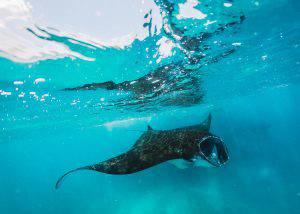 Freediving and snorkeling with Manta Rays