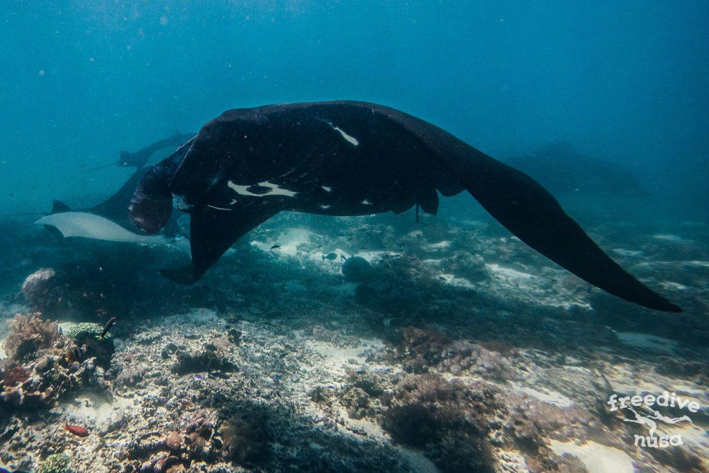 manta point bali snorkeling